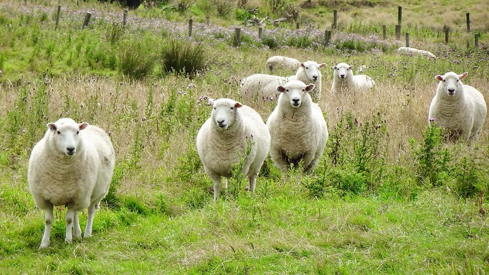 Ovce na Novi Zelandiji