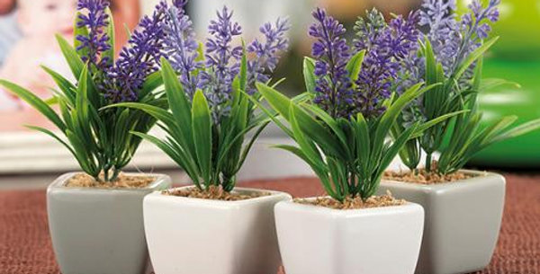 Lavender Plant in small ceramic pot 13.5 cm