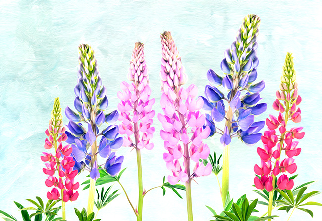 Lovely Lupine
