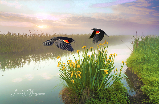Blackbirds and Irises