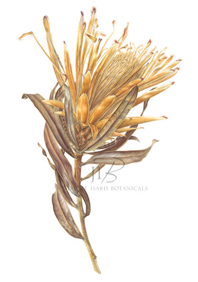 Protea neriifolia 'Snowcrest' (faded)