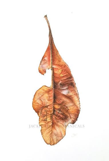 Faded Photinia leaf - Red Robin