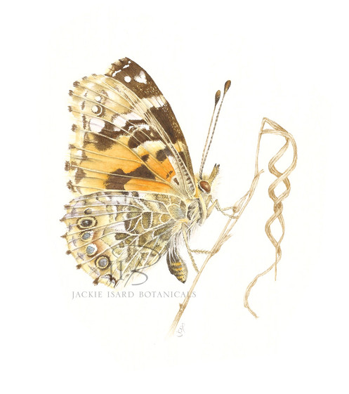 Painted Lady butterfly - Vanessa carduii