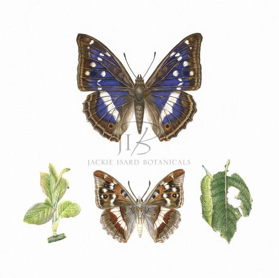 Purple Emperor butterfly