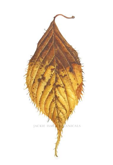 Cherry 'Chocolate Ice' faded leaf