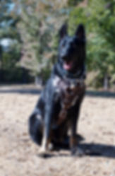 malinois for sale in Alabama