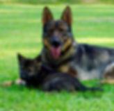 german shepherd, shepinois, malinois