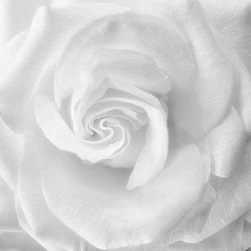 "White Rose - 11"" x 11"" Matted Print"