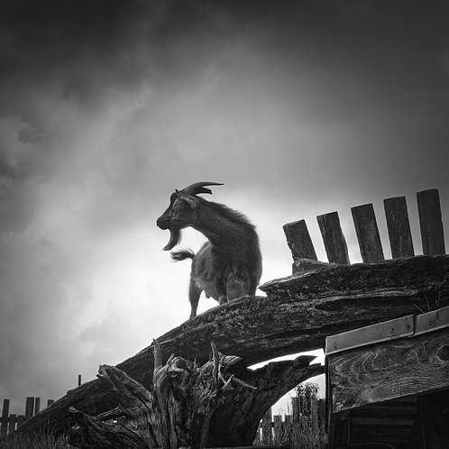 "Goat On The Roof - 11"" x 11"" Matted Print"