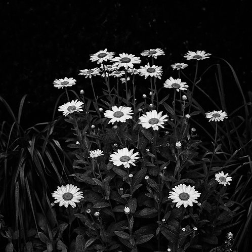 """Pop Go The Daisies - 11"""" x 11"""" Matted Print"""
