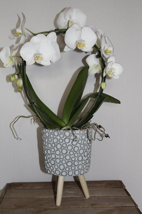 Boog-orchidee met pot
