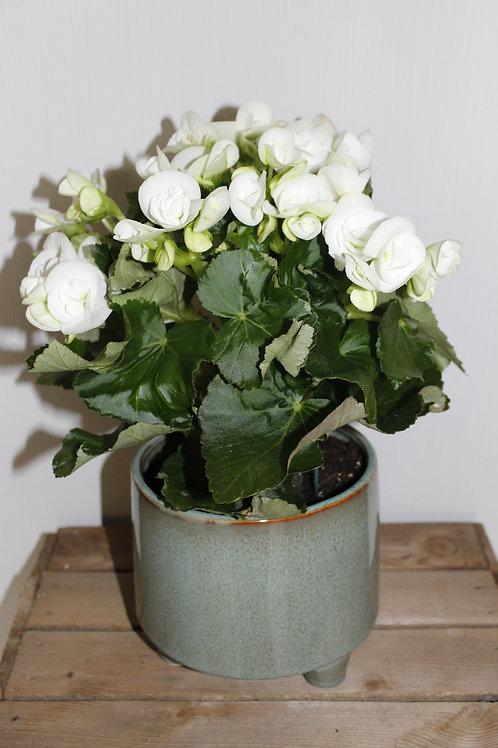 Begonia met pot
