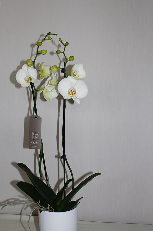 Orchidee met pot