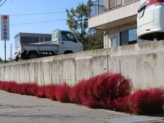 社屋前のコキア(ほうき木)が紅葉しました。