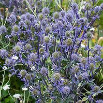 sea_holly_blue_glitter_plants.jpg