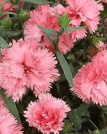 Carnation_Chabaud_La_France_Seeds_Dianth