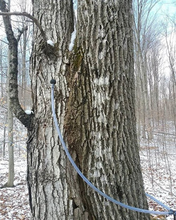 2 different trees blended together  Maple on the left, ash on the right