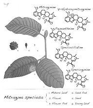 drawing-mitragyna-speciosa-more-kratom-f