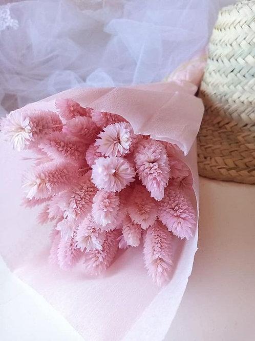phalaris rose
