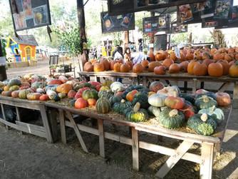 Pumpkin or Squash?