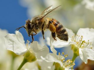 Celebramos a las abejas en su día