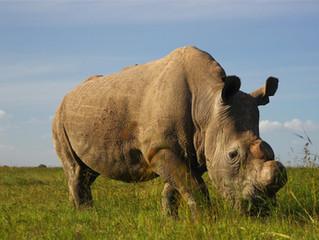 Sudán: el ultimo rinoceronte