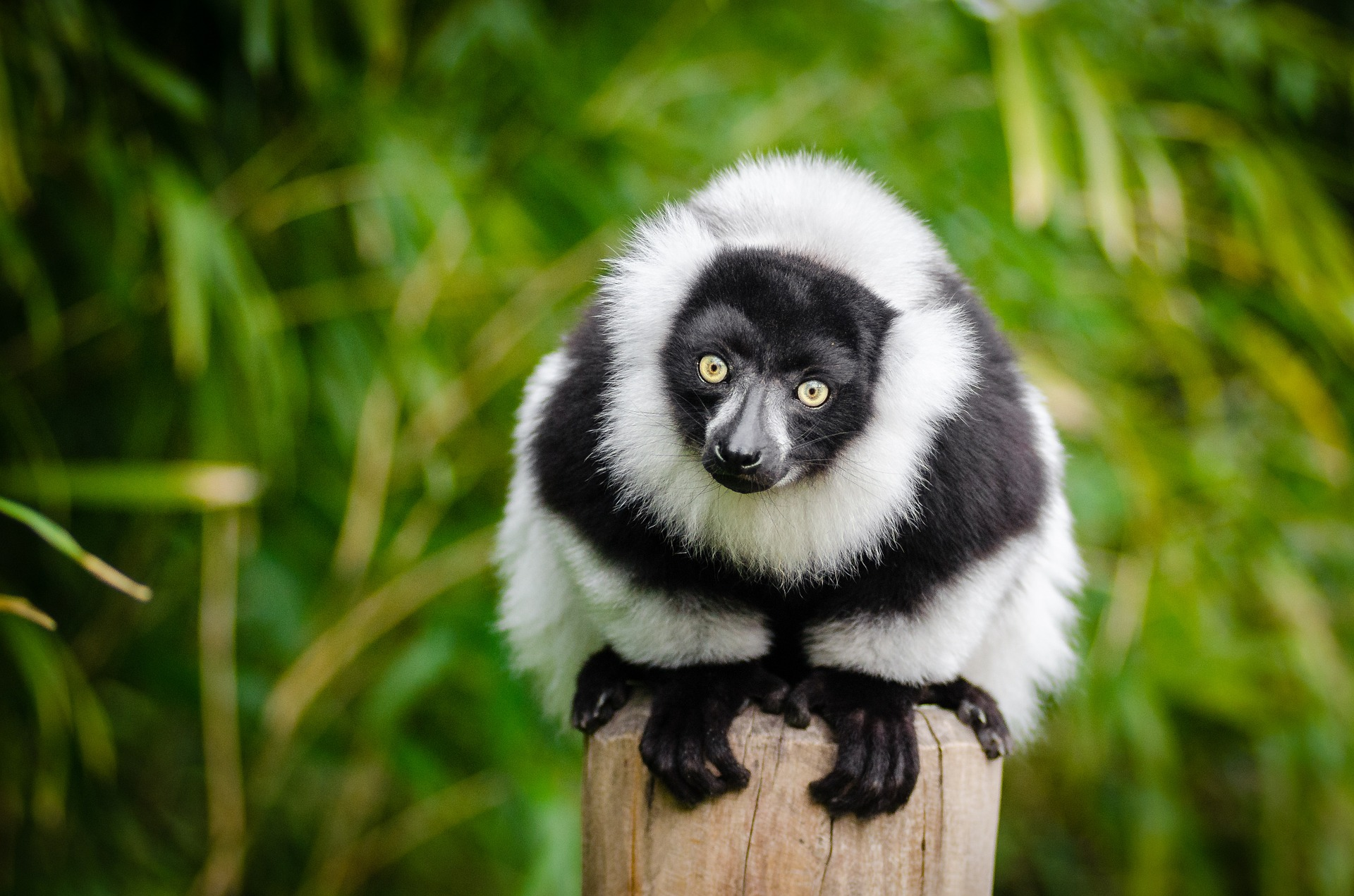 lemur-1383616_1920