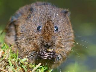 La rata topera ¿otra víctima del cambio climático?