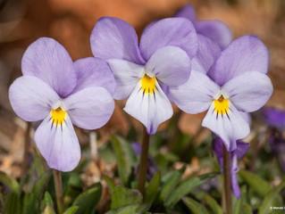 Nueva especie de violeta en el Teide