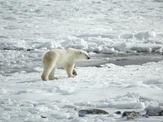 Día Internacional del Oso Polar: ¿algo que celebrar?