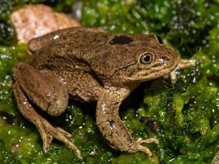 Futuro incierto para la rana del Loa