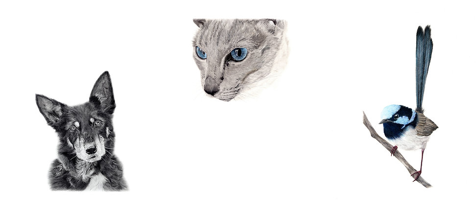 Commission a wildlife or pet portrait by Jodie Quinn, featuring Australia kelpie, Siamese cat and Superb Fairywren pencil drawings
