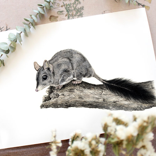 Phascogale Greeting Card