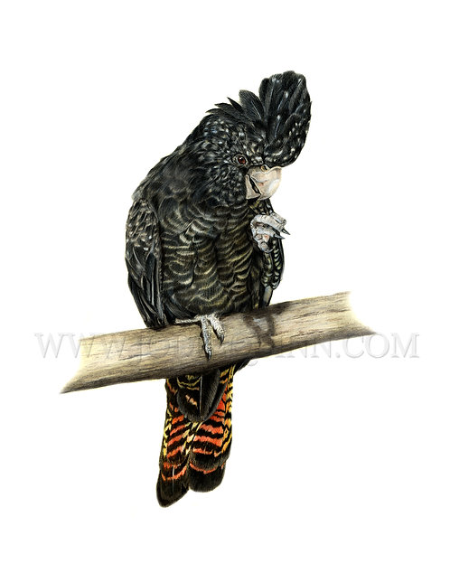 Red-tailed Black Cockatoo, Limited Edition Print