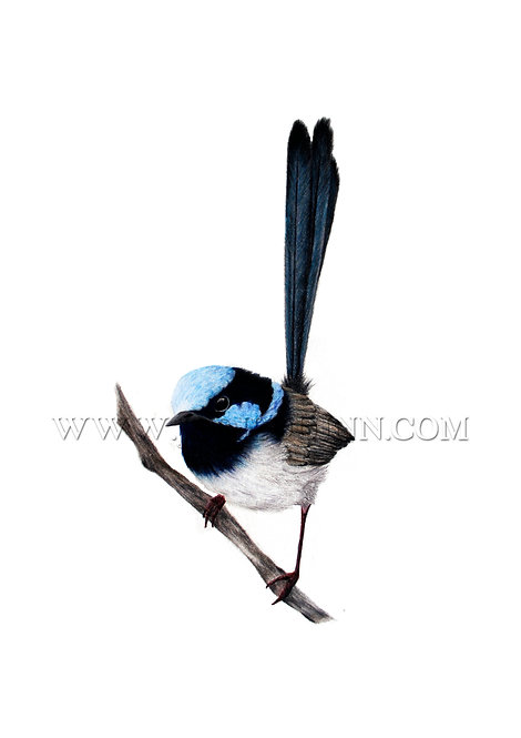 Superb Fairywren, Limited Edition Print