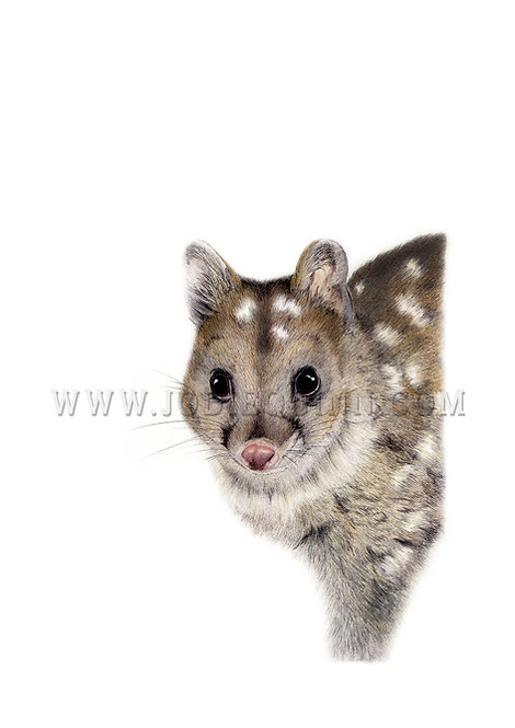Chuditch (Western Quoll), Limited Edition Print
