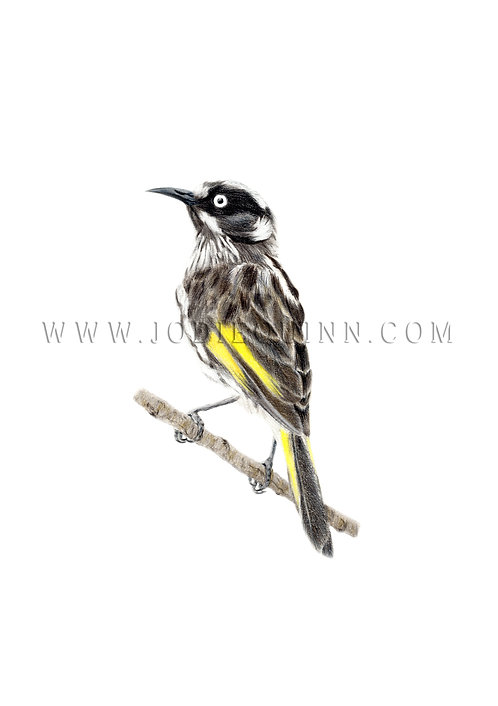 New Holland Honeyeater, Fine Art Print