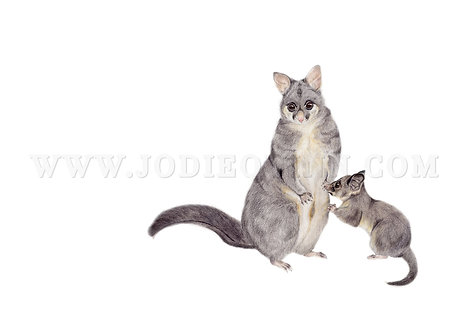 Brushtail Possum with Joey, Limited Edition Print