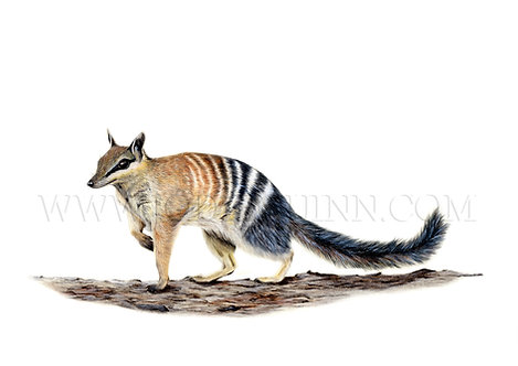 Numbat, Original Artwork