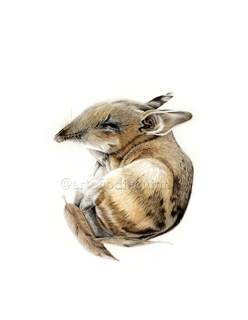 Eastern Barred Bandicoot, Limited Edition Print