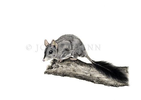 Brush-tailed Phascogale, Limited Edition Print