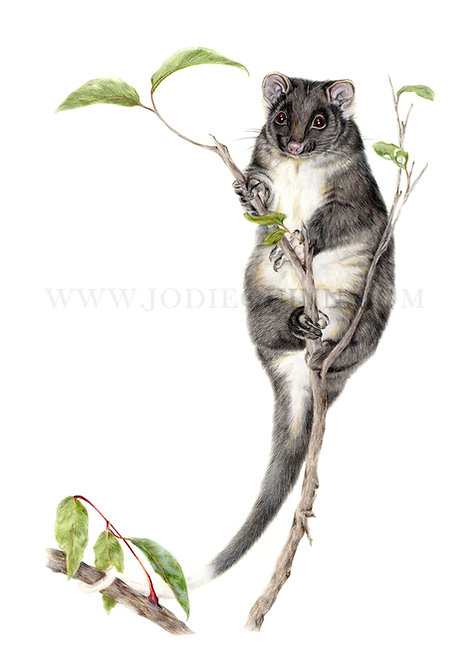 Western Ringtail Possum, Limited Edition Print