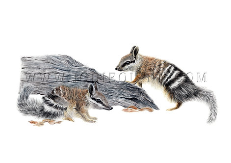 Numbat Joeys, Limited Edition Print
