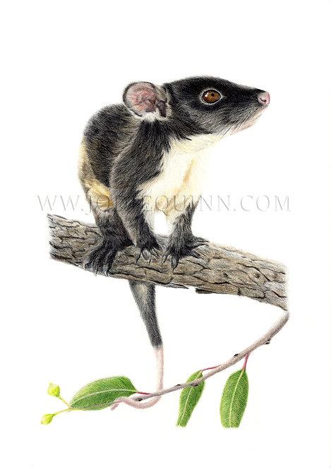 Ringtail Possum, Limited Edition Print