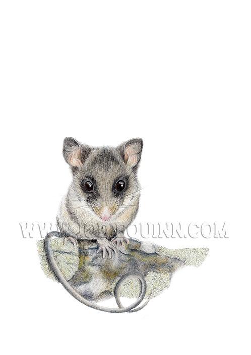 Mountain Pygmy Possum, Original Artwork