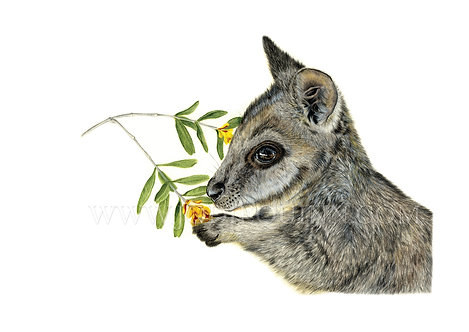 Tammar Wallaby, Limited Edition Print