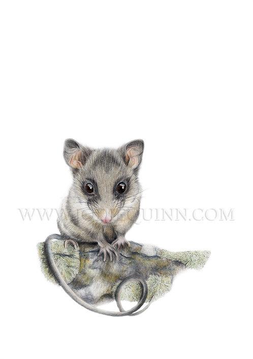 Mountain Pygmy Possum, Limited Edition Print