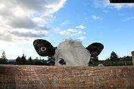 cow on local dairy farm