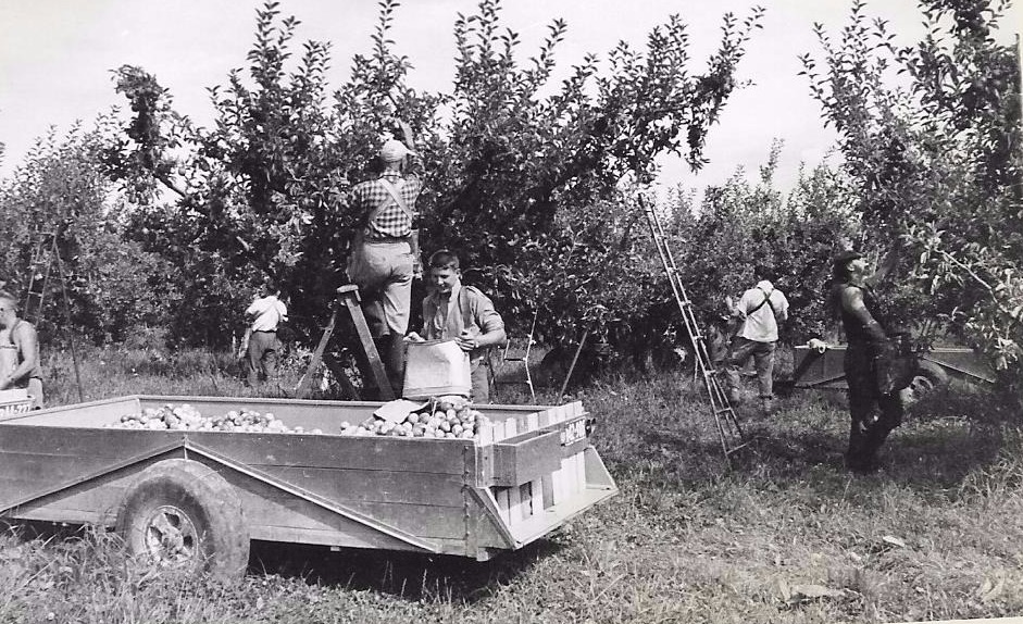 Apple Harvest, 1960