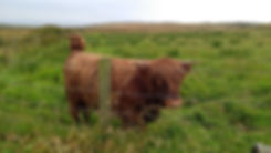 Filed with overgrown grass and two highland cattle looking forward.